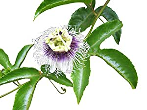 Passionsblume (Maracuja Passionsfrucht) 10 Samen (Passiflora edulis f. flavicarpa)