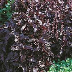 premier-seeds-direct-hrb09-herb-basil-purple-ruffles-seeds-pack-of-600