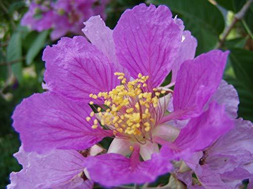 AGROBITS Lagerstria Flos-Reginae, speciosa, Pride Of India, 30 Samen