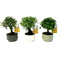 Bonsai Tree Lucky Dip - 5-6 Years Old - 20-25cm Trees