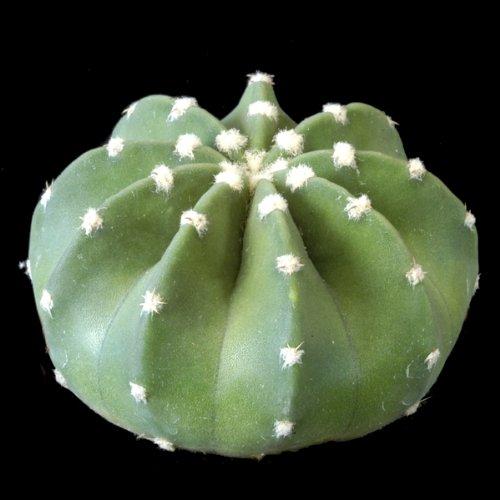 Echinopsis denudatum - 100 Graines