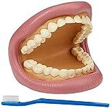 TickiT 03083 Giant Teeth Dental Demonstration Model