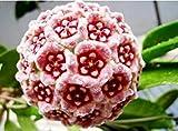 semi Hoya, seme in vaso, Hoya carnosa semi di fiori piante da giardino, piantando perenne - 50 semi piante d'appartamento