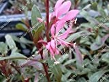 pianta piante di gaura in vaso 7 altezza 25/30 cm confezione da 10 piante vivaiosantabernadetta
