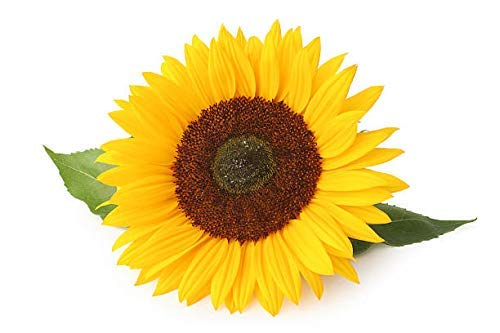 GIRASOL - GIGANTE Yellow 3 metros Plus - 40 semillas
