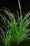 WFW wasserflora XL In-Vitro Helfers Zyperngras/Cyperus Helferi
