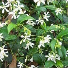 Trachelospermum jasminoides - Faux jasmin - Plante grimpante, hauteur environ 1m.