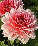 Dahlia 'Berliner de Kleene' (2tubercules), Nain variété Idéal pour conteneurs, excellente Cut, fleurs, fleurs d'été au Fall