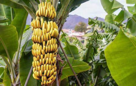 Trothic Gardens Rare Hybrid Banana Tree PALAYANKODAN (Variety Of Banana) 1 Live Healthy Plant.