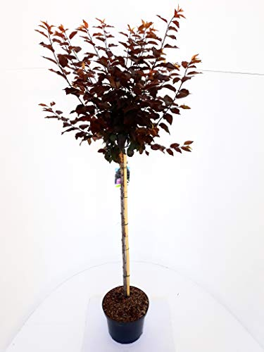 Blutpflaume auf Stamm, Blut - Pflaume, Prunus Nigra, essbare Früchte, 140-150 cm + Dünger