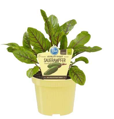 Bio Sauerampfer rotblättrig (Rumex sanguineus), Kräuter Pflanzen aus nachhaltigem Anbau, (1 Pflanze)