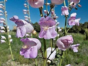 PlenTree 300+Palmer'S Penstemon American Native Wildflower Seed Butterflies Hummingbirds -