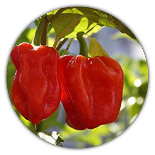 Habanero Red - Rot - sehr scharfe Chili-Sorte - 30 Samen