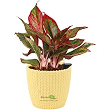 Nurturing Green 15-20 Leaves Aglaonema Lipstick(Chinese Evergreen) Plant for Indoors with Air Purifying Ability in Yellow Self-Watering Planter