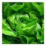 Winter-Kopfsalat - Maiwunder - 300 Samen