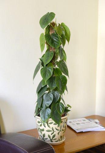plante-dinterieur-plante-pour-la-maison-ou-le-bureau-philodendron-scandens-hauteur-50-cm