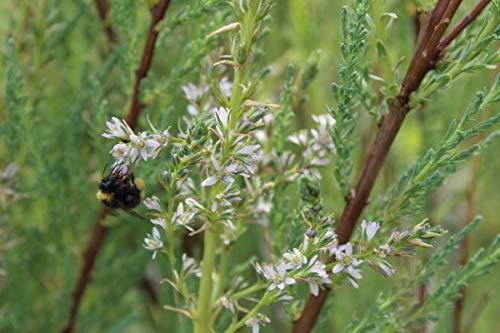 Kaspische Tamariske 'Pink Cascade' - starke Pflanze im grossen 5lt Topf