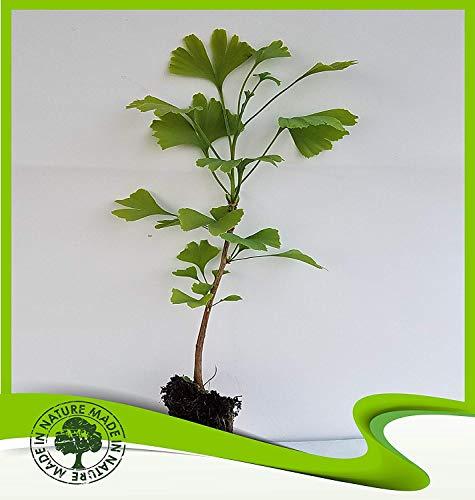 Ginkgo biloba (Ginkgo-Baum) Pflanze -
