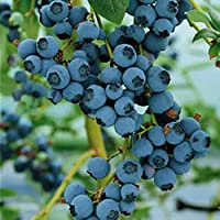 Blueberry Bluecrop fruit bush reliable and heavy cropping mid season variety with large fruit ideal for patio and containers FREE DELIVERY