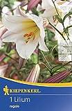 Kiepenkerl Blumenzwiebel Lilie 'Königslilie'   mehrjährig   Trompetenlilien   weiße Blüten   1 Knolle