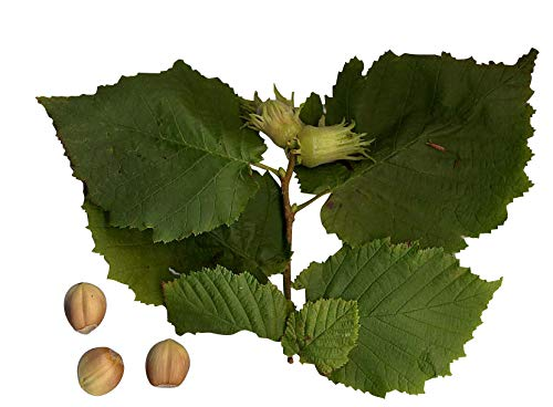 Haselnußbaum 15 Samen-Nüsse -corylus avellana- Winterharte/Robust