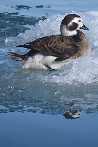 Long-Tailed Duck Journal (Clangula Hyemalis): 150 page lined notebook/diary - Long-tailed Duck