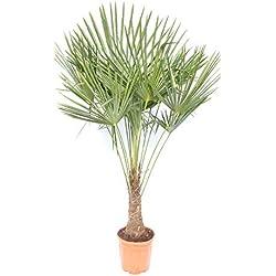 XXL 150-180 cm Palme winterhart, Trachycarpus fortunei, Hanfpalme + Bonsai Zitrone 25-35 cm
