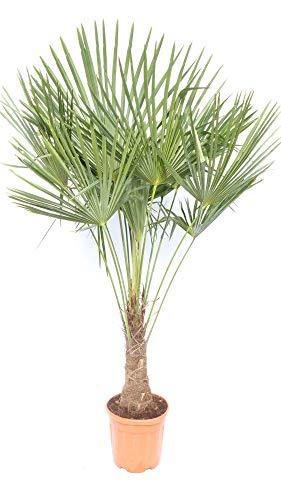 XXL 180 cm Palme winterhart, Trachycarpus fortunei, Hanfpalme + Bonsai Zitrone 25-35 cm