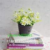 Pinkdose 100 Argyranthemum Frutescens Samen Marguerite Gänseblümchen, so hübsch, lange Blütezeit: Schwarz