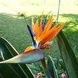 Pinkdose 10 Seeds Queen's Bird-of Paradise (Strelitzia Reginae) Landscaping Flower