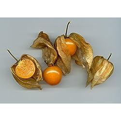 Physalis pruinosa, Ananaskirsche, schmackhafte Beeren, schnellwachsend, 10 Samen