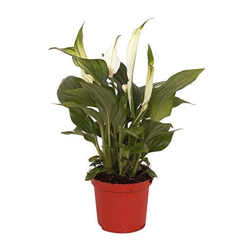 Einblatt Höhe 70- 80 cm Topf-Ø ca. 17 cm Spathiphyllum