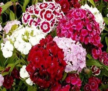 PLAT FIRM: 250 Samen - Sweet William Dianthus Barbatus -
