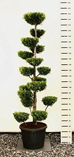 Scheinzypresse Kugel-Formschnitt - Chamaecyparis lawsoniana 'Ivonne' - verschiedene Größen (220-230cm - Ø 50 - 45 Ltr. - PLATEAU)