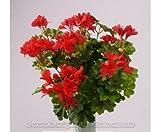 Geranien Kunstblume mit 116 rote Blüten, Höhe und Durch. ca. 40cm - Kunstpflanze künstliche Blumen Kunstblumen Blumensträuße künstlich, Seidenblumen oder Blumen aus Plastik Kunststoff </p> --> großes Kunstblumen Sortiment