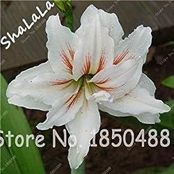 Vista 2 Stück Amaryllis-Zwiebeln, Hippeastrum-Blumenzwiebeln, (keine Samen) Bonsai-Blumenzwiebeln, Barbados-Lilien im Topf Hausgarten 18