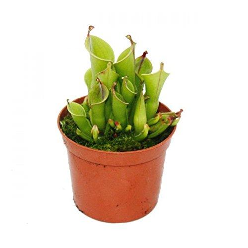 #Fleischfressende Pflanze – Sumpfkrug – Heliamphora – 9cm Topf – Rarität#