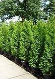 Smaragd Lebensbaum Thuja occidentalis Smaragd 50-70 cm hoch im 2Ltr. Topf