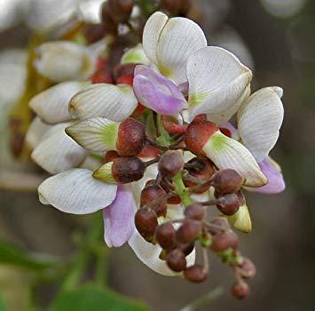 Pongamia pinnata, indische Buche, Millettia pinnata, 5 Samen - Buche Samen