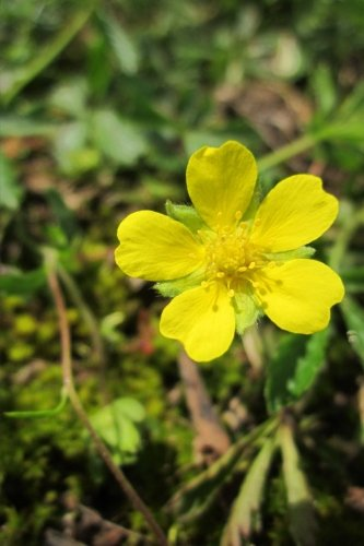 yellow-potentilla-erecta-tormentil-flower-blooming-blank-150-page-lined-journal-for-your-thoughts-id