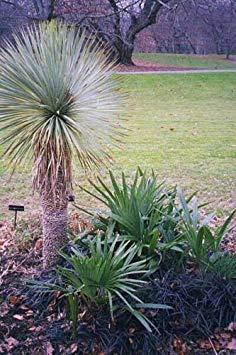 VISA STORE 5 Semillas de semilla de yuca thompsoniana - Yucca Hardy exótico