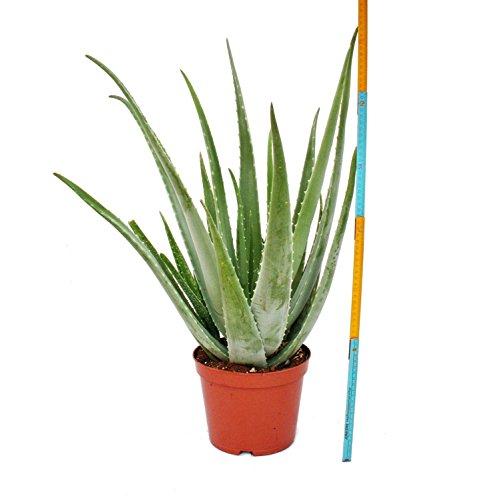 Aloe Vera – ca. 7-8 Jahre alt – 21cm Topf, riesige und sehr alte Pflanze - 4