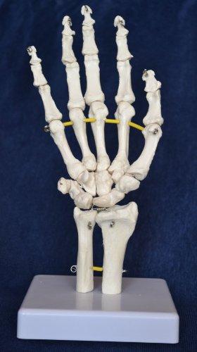 Zoom IMG-1 s24 3247 scheletro della mano