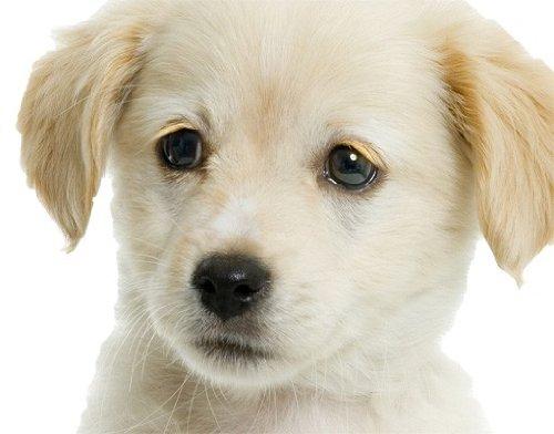 Preisvergleich Produktbild Wandtattoo No.93 Süßer Weißer Welpe Tiere Haustier Hund Welpe Vierbeiner