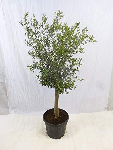 [Palmenlager] - Olivenbaum