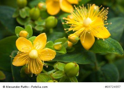 Echtes Johanniskraut Hypericum perforatum Heilpflanze Herrgottsblut 100 Samen