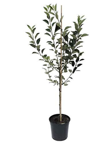 Müllers Grüner Garten Shop Pinova (R) Apfelbaum robuste Sorte gegen Schorf und Feuerbrand Buschbaum 120-150 cm 9,5 L Topf MM111
