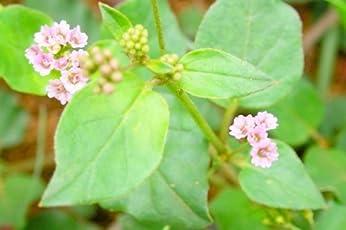 VPN Live Punarnava Boerhavia Diffusia Medicinal Plant