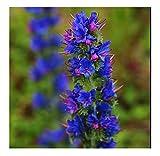 VIPER'S-BUGLOSS (ECHIUM VULGARE) - 1.25 GRAM ~ 360 SEEDS - WILD FLOWER