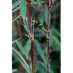 Roter-Bambus Fargesia jiuzhaigou winterhart und schnell-wachsend (125/150 cm hoch)